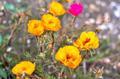 Colorful Purslane flowers in the garden. Orange moss rose, Portulaca, or Purslane background. Colorful Purslane flowers in the garden. Moss rose, Portulaca, or royalty free stock photos