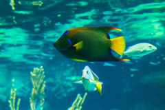 Colorful Queen Angelfish. Closeup of a colorful Queen Angelfish in Caribbean sea Stock Photo