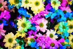 Colorful Rainbow Daisy flower Stock Photos