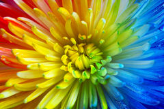 Colorful rainbow flower brackground Stock Photography