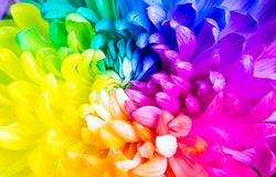 Colorful rainbow flower Royalty Free Stock Photo