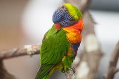 Colorful Rainbow Lorikeet bird perched on a branch Stock Images