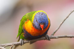 Colorful Rainbow Lorikeet bird perched on a branch Royalty Free Stock Photo