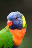 Colorful Rainbow Lorikeet. Closeup of a Rainbow Lorikeet looking to the left stock images