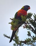 Colorful Rainbow Lorikeet perched in a Bottle Brush tree. With a blue sky stock image