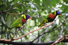 Colorful Rainbow Lorikeets Royalty Free Stock Images
