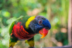 Colorful rainbow lory Stock Photography