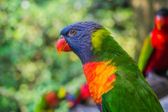 Colorful rainbow lory Royalty Free Stock Image