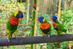 Colorful rainbow lory Royalty Free Stock Images