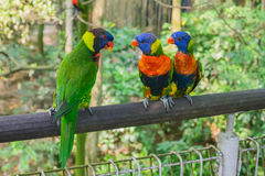 Colorful rainbow lory Royalty Free Stock Photos