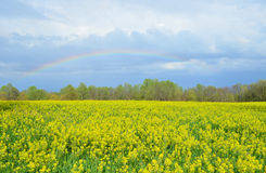 Colorful rainbow over yellow canola field Royalty Free Stock Images