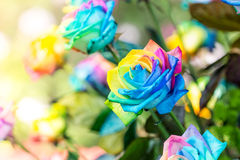 Colorful of rainbow roses flower. stock photos