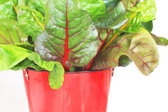 Colorful rainbow swiss chard. A wonderful leafy vegetable easily grown in the home garden that is filled with vitamins and nutritious, low fat as well as low Royalty Free Stock Photos