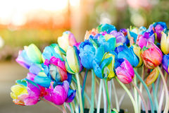 Colorful of rainbow tulips flower Stock Image