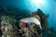 Colorful Rainbow wrasse on a tropical coral reef. Stock Photography