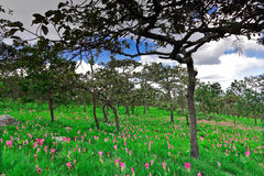 Field of the bulb flora,Chai Ya Phoom,Thailand Royalty Free Stock Photos