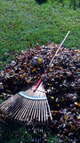 Colorful Raked Leaf Pile with Rake Stock Photography