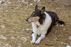 Colorful Ranch Dog Resting On Hay Ground Stock Photography