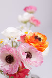 Colorful ranunculus Royalty Free Stock Photo