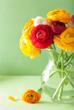 Colorful ranunculus flowers in vase over green background Royalty Free Stock Image