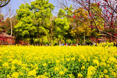 Colorful rape flower field Royalty Free Stock Images
