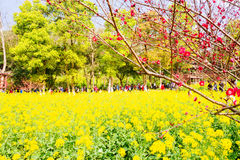 Colorful rape flower field Royalty Free Stock Photos