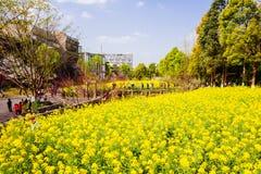 Colorful rape flower field Stock Photos