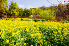 Colorful rape flower field Royalty Free Stock Photography
