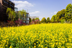Colorful rape flower field Royalty Free Stock Image