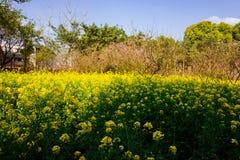 Colorful rape flower field Royalty Free Stock Photo