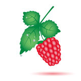 Colorful raspberry summer fruit with leaf eps10 Royalty Free Stock Images