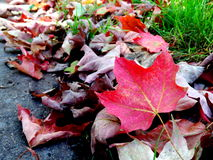 Colorful red autumn maple leaves. Piles of red autumn maple leaves on the ground Stock Image