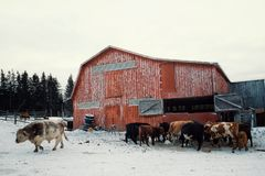 a colorful red barn building with cow cattle feeding from a haystack during the winter with a large bull stock images