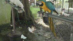 Colorful Red-blue-green Scarlet Macaw parrot lat. Ara on trough stock footage video stock video