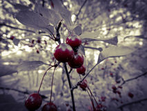 Colorful red cherry tree. Cherry tree has beautiful colors, epic tree Royalty Free Stock Photography