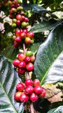 Colorful of red coffee beans on tree branch Royalty Free Stock Photo