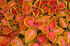 Colorful red Coleus Stock Photos