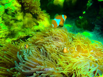The colorful red coral reef with sea in tropical, underwater. The colorful coral reef with sea urchin in tropical sea, underwater Royalty Free Stock Photo