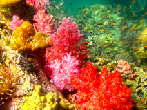 The colorful red coral reef with sea urchin in tropical, underwater. Stock Photo