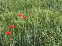 Colorful red corn poppies growing in a field. Colorful red corn poppies, Papaver rhoeas, growing in an agricultural field amidst ears of a young green cereal or Royalty Free Stock Images
