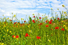 Colorful red corn poppy flowers in a meadow Stock Photo
