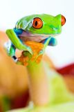 Colorful Red Eyed Tree Frog Royalty Free Stock Images