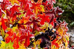 Colorful red gum tree foliage covered with hoarfrost Royalty Free Stock Images