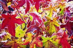 Colorful red gum tree foliage covered with hoarfrost Royalty Free Stock Photo