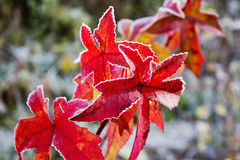Colorful red gum tree foliage covered with hoarfrost Royalty Free Stock Image