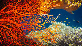 Colorful Red Hard Corals and some Coral Fish around on Kri, Raja Ampat, Indonesia.  Royalty Free Stock Photography