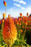 Colorful Red Hot Poker Royalty Free Stock Image
