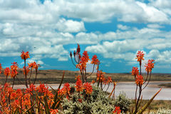 Colorful red hot poker flowers. Flowering in a scenic rural landscape under a cloudy blue sky Royalty Free Stock Photos