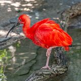 Colorful Red Ibis from South America portrait, closeup stock image