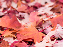 Colorful red leaves Stock Image